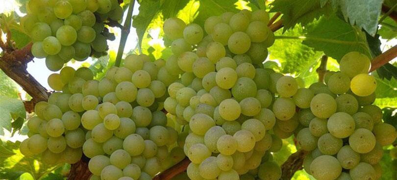 Descubre la uva Treixadura
